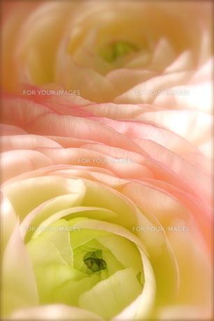 ピンクのラナンキュラスの素材 [FYI00278577]