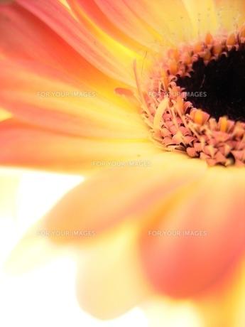 オレンジのガーベラの素材 [FYI00278579]