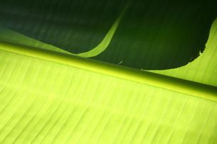 バナナの葉の素材 [FYI00278589]