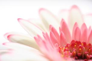 ピンクのふちどりのガーベラの写真素材 [FYI00278594]