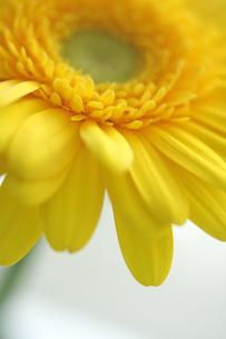 黄色のガーベラの写真素材 [FYI00278598]