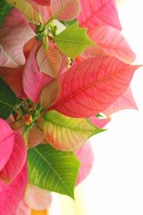 ピンクのポインセチアの写真素材 [FYI00278604]