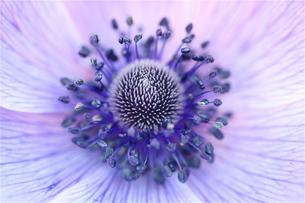 紫色のアネモネの写真素材 [FYI00278625]