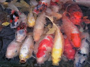 冬の錦鯉の写真素材 [FYI00278638]