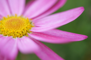 ピンクのマーガレット(1)の写真素材 [FYI00278654]