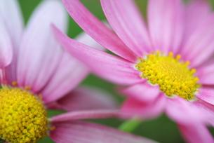 ピンクのマーガレット(2)の写真素材 [FYI00278658]