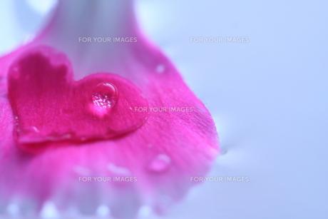 ハートの花びら(2)の素材 [FYI00278668]