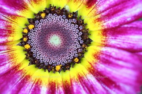 紫の花輪菊の素材 [FYI00278676]