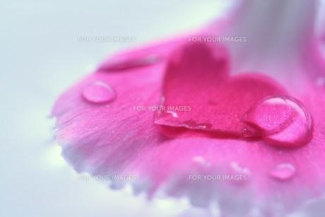 ハートの花びら(1)の素材 [FYI00278679]