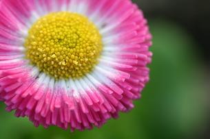ピンクのデイジーの写真素材 [FYI00278697]