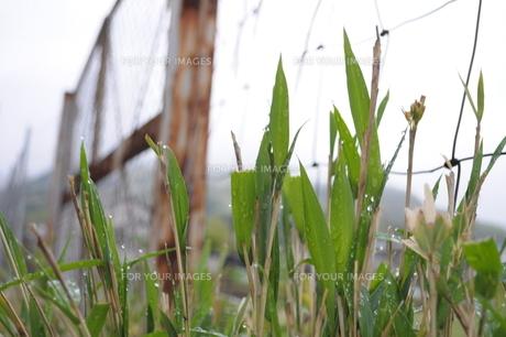 雨の笹の写真素材 [FYI00278715]
