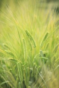 ビール大麦の写真素材 [FYI00279068]