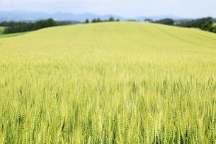 麦畑の素材 [FYI00279098]