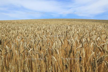 麦畑の素材 [FYI00279151]