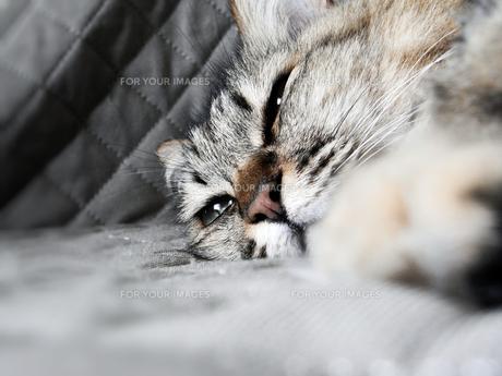眠そうな猫の素材 [FYI00279296]