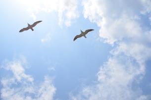 青空に羽ばたく鳥の写真素材 [FYI00279705]