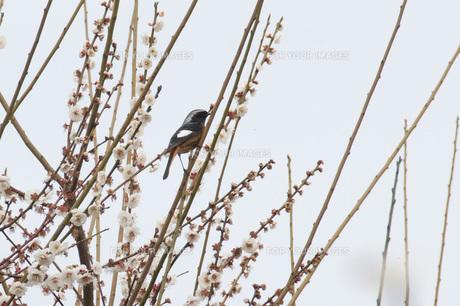梅に小鳥の素材 [FYI00280002]