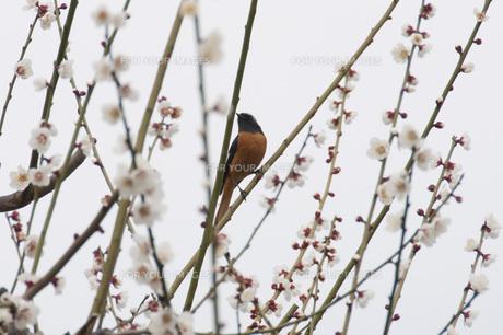 梅に小鳥の素材 [FYI00280012]