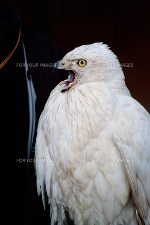 シロオオタカ 鷹の写真素材 [FYI00280098]