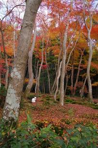 白猫と祇王寺の紅葉の写真素材 [FYI00280111]