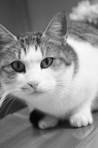 まっすぐに見つめる猫の写真素材 [FYI00280222]