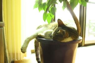 日向の植木鉢の中で眠る猫の写真素材 [FYI00280242]