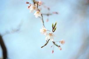 咲き始めの桜の写真素材 [FYI00280249]