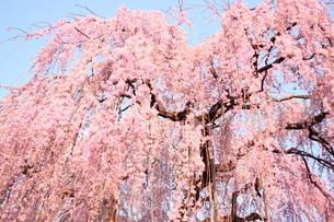 高尾の垂れ桜の写真素材 [FYI00280253]