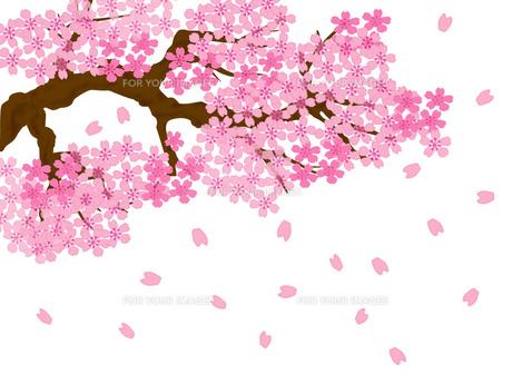 桜の満開の素材 [FYI00280435]