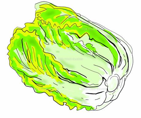 白菜の写真素材 [FYI00280557]