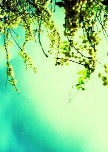 流れる白い花の写真素材 [FYI00280705]