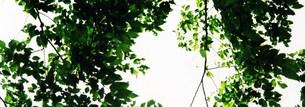 木の葉カーテンの写真素材 [FYI00280731]