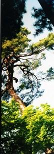 古き木木たちの写真素材 [FYI00280748]
