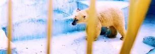 白熊のあのこの写真素材 [FYI00280755]