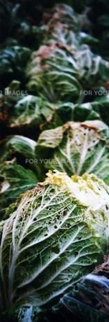 白菜畑の写真素材 [FYI00280759]