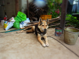 番犬コウの写真素材 [FYI00280769]