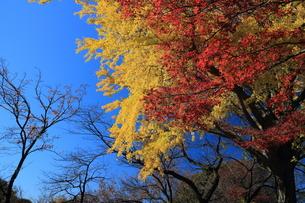 大倉山の見事な紅葉の素材 [FYI00280810]