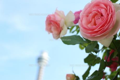 横浜のマリンタワーと薔薇の素材 [FYI00280839]
