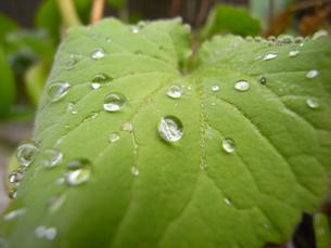雨上がりの葉の写真素材 [FYI00280850]