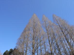針葉樹と空の写真素材 [FYI00280851]