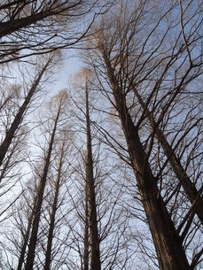 空に伸びる針葉樹林の写真素材 [FYI00280857]