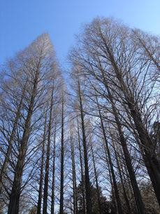 冬のメタセコイアの写真素材 [FYI00280867]