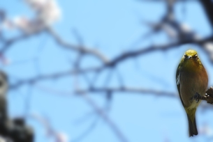 メジロと梅と青空の写真素材 [FYI00280893]