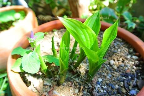 ギボウシの芽の写真素材 [FYI00280896]