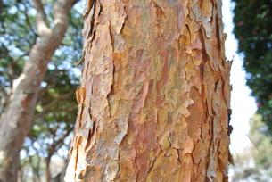 赤松の幹の写真素材 [FYI00280898]
