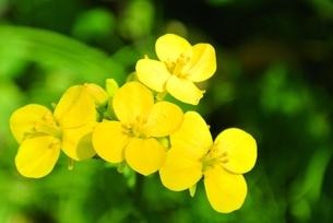 菜の花アップの写真素材 [FYI00280899]