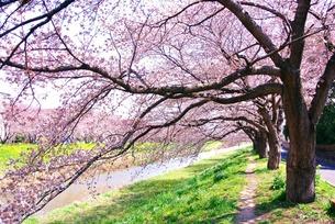 桜のトンネルの写真素材 [FYI00280900]