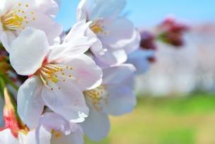 桜の花の写真素材 [FYI00280905]