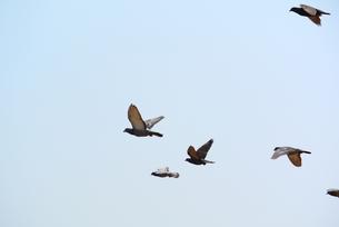 鳩の群れの写真素材 [FYI00280927]