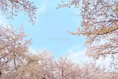 桜と青空の素材 [FYI00280931]